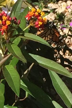 monarch2